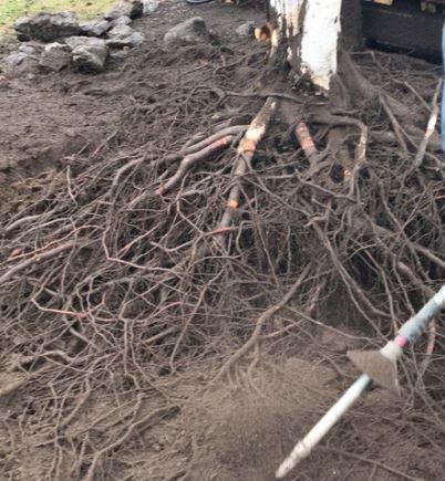 Air Spade & Root Pruning Services