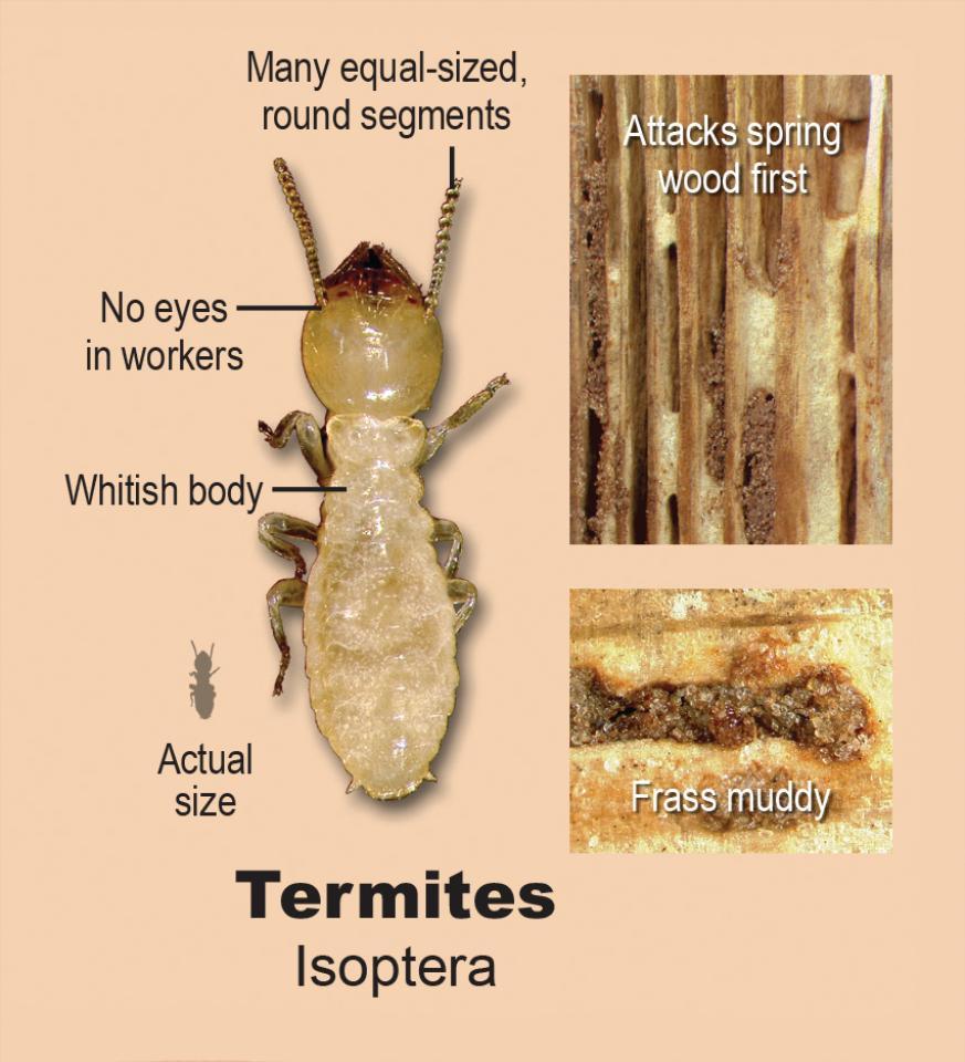 Wood Damaging Organisms